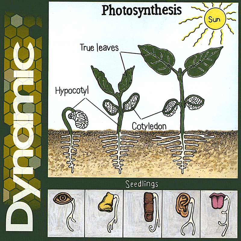 Photosynthesis (other Version)
